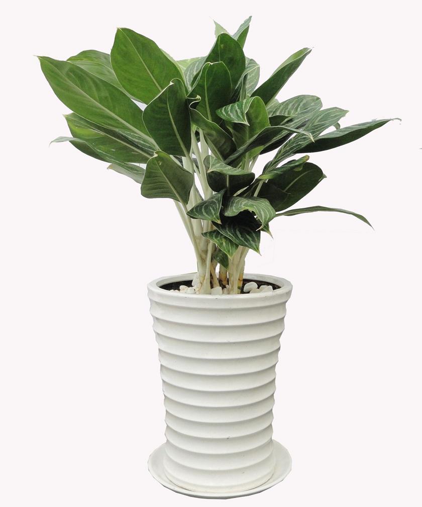 Bán cây bạch mã hoàng tử giá rẻ - cây sống tốt tại tphcm