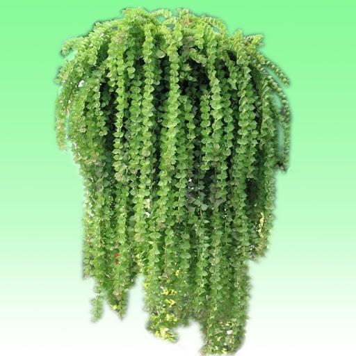 bán cây lan tim, đặc điểm, ý nghĩa, phong thuỷ cây kim ngân
