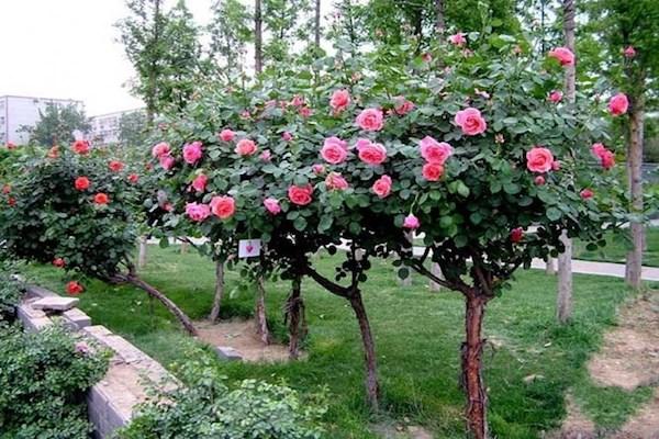 Địa điểm bán cây hoa hồng